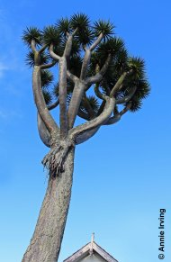 Dragon Tree in front of 9 Saint Stephens Avenue. Image copyright and used with permission.